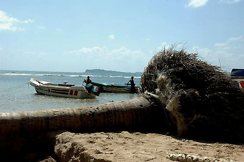 津波で根こそぎ倒されたヤシの木(撮影:いずれも筆者)